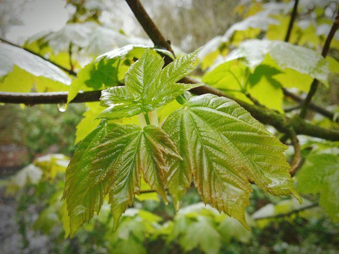 Wet Spring Leaves Wet Spring Leaves Rain Royden Park Merseyside Wirral