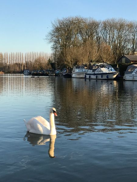 River Thames, Caversham Swan River Wildlife Nature Bird Fowl Reflection Feathers Majestic Beauty Wildlife Photography Nature_collection Nature On Your Doorstep Nature Photography
