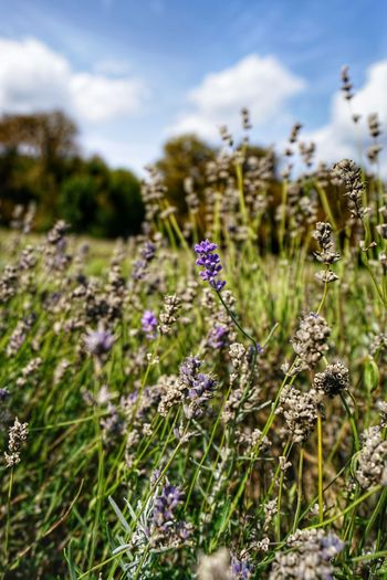 ILCE-7RM2 + FE 16-35mm F4 ZA Full-frame   ISO100   f/4   1/800 sec   21mm Lavander Flowering Plant Flower Plant Fragility Vulnerability  Beauty In Nature Growth Nature Purple Freshness Close-up Land Day Field Sky Focus On Foreground Flower Head