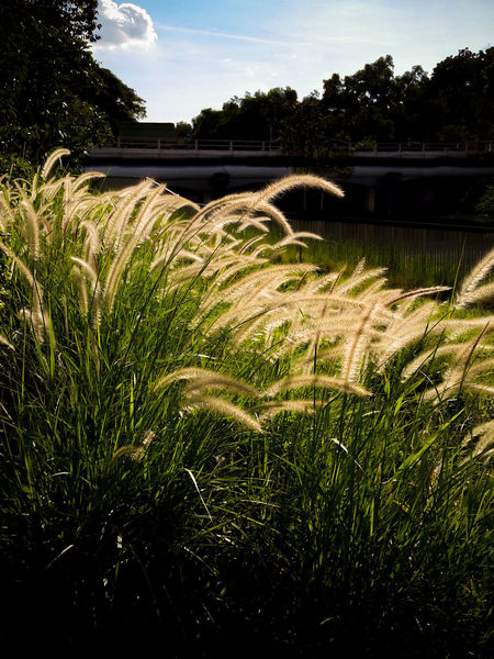 Backlit fountain grass in the late afternoon sun Beauty In Nature Field Flowing Water Fountain Grass Grass Green Color Growth Landscape Motion Nature No People Outdoors Plant River Scenics - Nature Sky Water