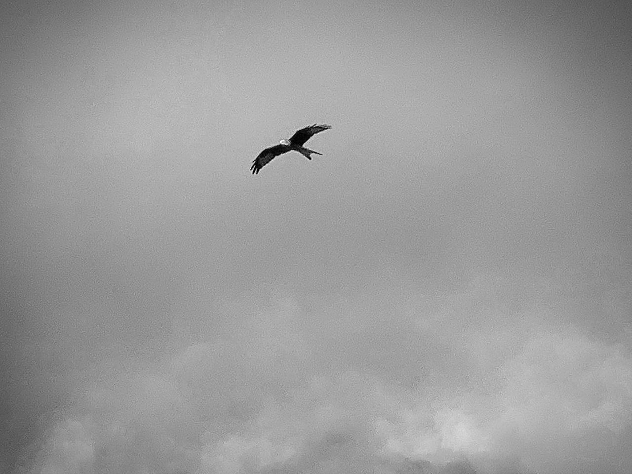 bird, animals in the wild, animal wildlife, animal themes, flying, vertebrate, animal, low angle view, sky, one animal, spread wings, cloud - sky, mid-air, day, no people, nature, beauty in nature, motion, outdoors, silhouette, eagle