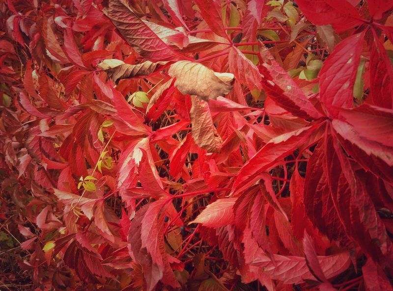 Leaf Autumn Season  Backgrounds Red Leaves Leaf Vein Selective Focus Botany Beauty In Nature Fallen Natural Condition Day Beauty In Nature