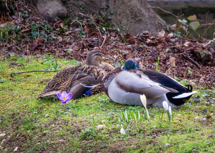 Bird Animals In The Wild Duck Outdoors Togetherness Two Animals No People Love Flowers