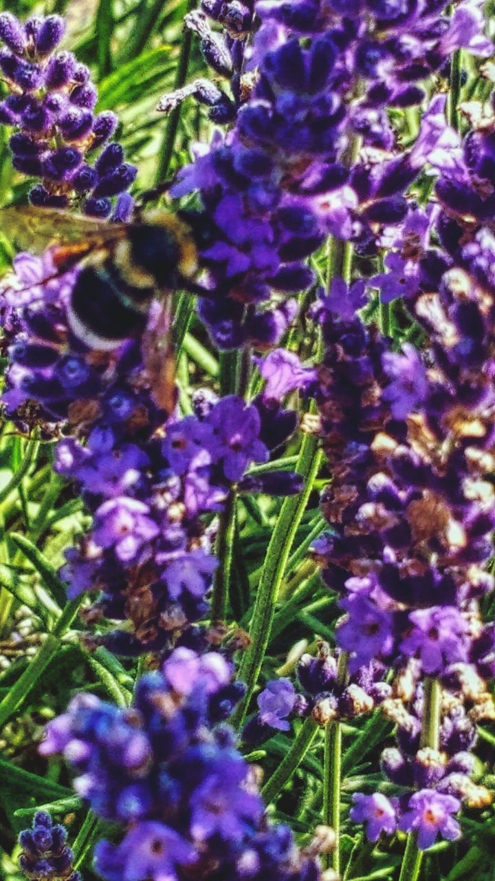 purple, flower, growth, nature, fragility, beauty in nature, lavender colored, plant, freshness, no people, day, outdoors, scented, lilac, close-up