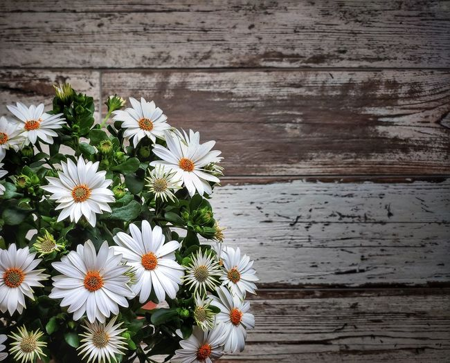 Close-up of white daisy flowers on wood