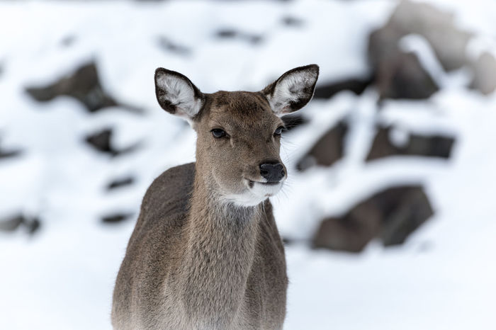 Animal Themes Animal Wildlife Animals In The Wild Beauty In Nature Close-up Cold Temperature Day Deer Focus On Foreground Looking At Camera Mammal Nature No People One Animal Outdoors Portrait Snow Winter