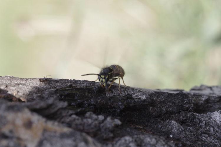 Wasp Wasp Macro