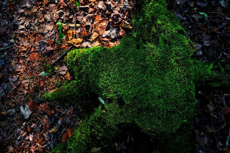 Moss Mossy Moss On Trees Moss Covered Tree Moss-covered Light Green Green Color Still Life EyeEm Best Shots EyeEm Nature Lover Natrual Beauty  Beauty Scenics Green Color Growth High Angle View Plant Nature No People Field Plant Part Tranquility Land Leaf Outdoors Beauty In Nature Tree Backgrounds Full Frame