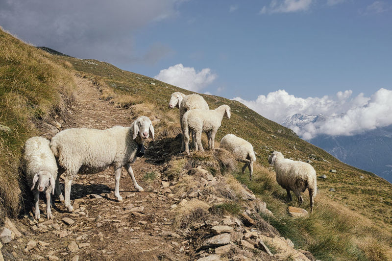 Low angle view of sheeps on mountain against sky