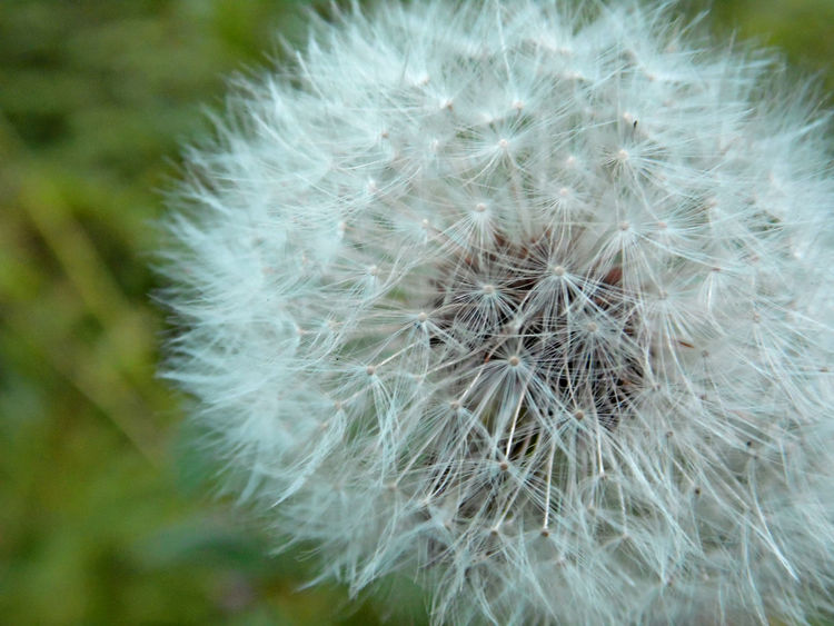 Beauty In Nature Botany Close-up Dandelion Day Flower Flower Head Focus On Foreground Fragility Freshness Growth Nature No People Outdoors Plant Seed Softness Springtime Uncultivated White Color