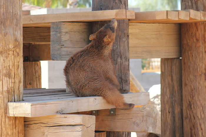 Animal Themes Animal Wildlife Bear Cub Brown Close-up Day Nature No People One Animal Outdoors Tree Wildlife World Zoo Wood - Material