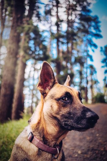 CHAMPERS // German Shepherd GSD Forest Ctdogtog Pet Photography  Dog Dogs Of EyeEm Dog Photography Dog Portrait Forest One Animal Dog Canine Mammal Animal Themes Domestic Animals Pets Domestic Animal Vertebrate Tree Focus On Foreground Plant No People Day Nature Pet Collar Collar Looking Land