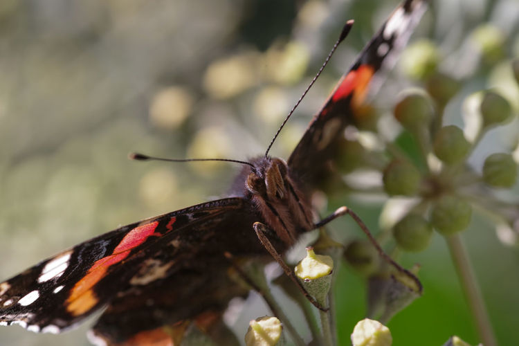 Garden Photography (cont.): Insects Animals In The Wild Macro Photography Animal Themes Butterfly - Insect Close Uo Insects  Macro No People One Animal Outdoors Vanessa Atalanta