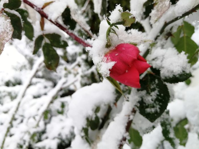 Red Rose Frozen Rose Beauty In Nature Snowflake Snowing Close-up Branch Flower Red Frozen