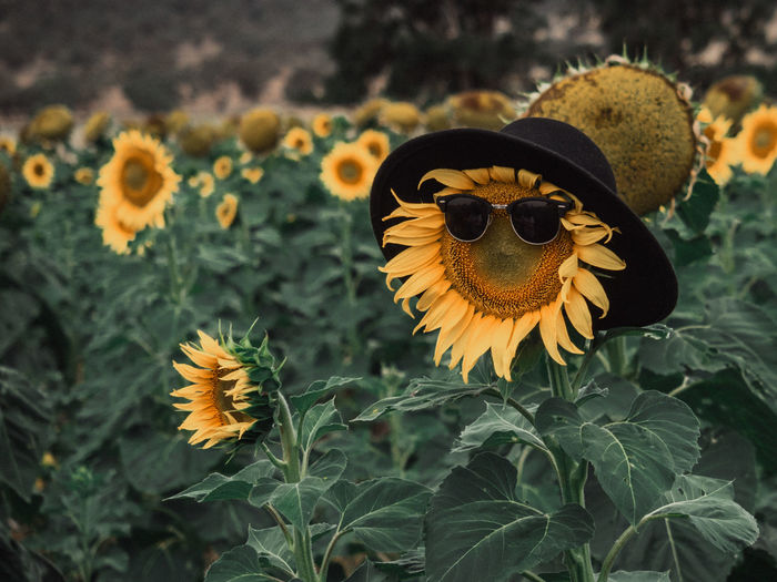 Just a cool sunflower in the field. Beauty In Nature Close-up Creative Flower Flower Head Flowering Plant Focus On Foreground Freshness Growth Leaf Nature No People Outdoors Petal Plant Sunflower Yellow The Great Outdoors - 2018 EyeEm Awards The Still Life Photographer - 2018 EyeEm Awards The Creative - 2018 EyeEm Awards