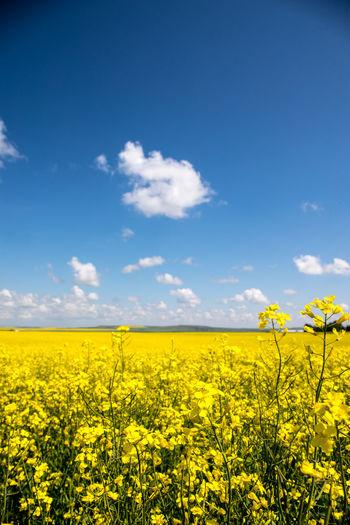 Scenic view of oilseed rape field against sky