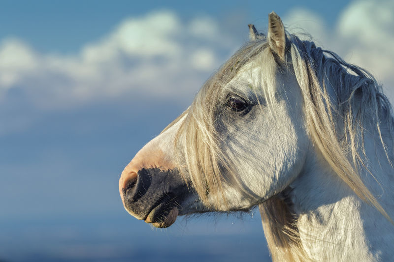 White Stallion Portrait on Cloudy Blue Sky Background Stallion White Horse Wild Horse Wildlife & Nature Wildlife Photography Animal Head  Animal Portrait Animal Themes Close-up Day Focus On Foreground Horse Mammal Nature No People One Animal Outdoors Portrait Sky Wild Pony Wilderness Wildlife