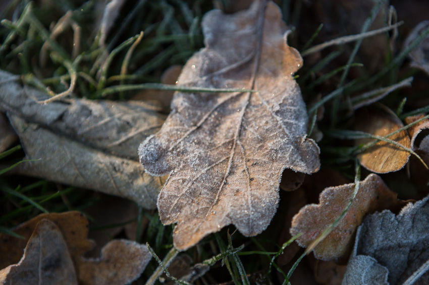 Close up of early autumn frost covered leaves in grass. Autumn Autumn Leaves Bown Close Up Close-up Dappled Sunlight Day Early Winter Fallen Leaves Frost Frost Covered Grass Late Autumn Leaf Light And Shadow Morning Morning Light No People Oak Leaves Outdoors