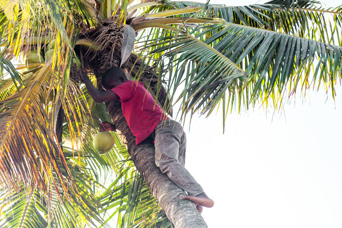 Beauty Casual Clothing Coconut Coconut Palm Tree Day Exoticism Green Green Color Growth Leaf Low Angle View Nature Outdoors Palm Frond Palm Leaf Palm Tree Scenics Sky Tree Tree Trunk Tropical Climate Tropical Tree Wind