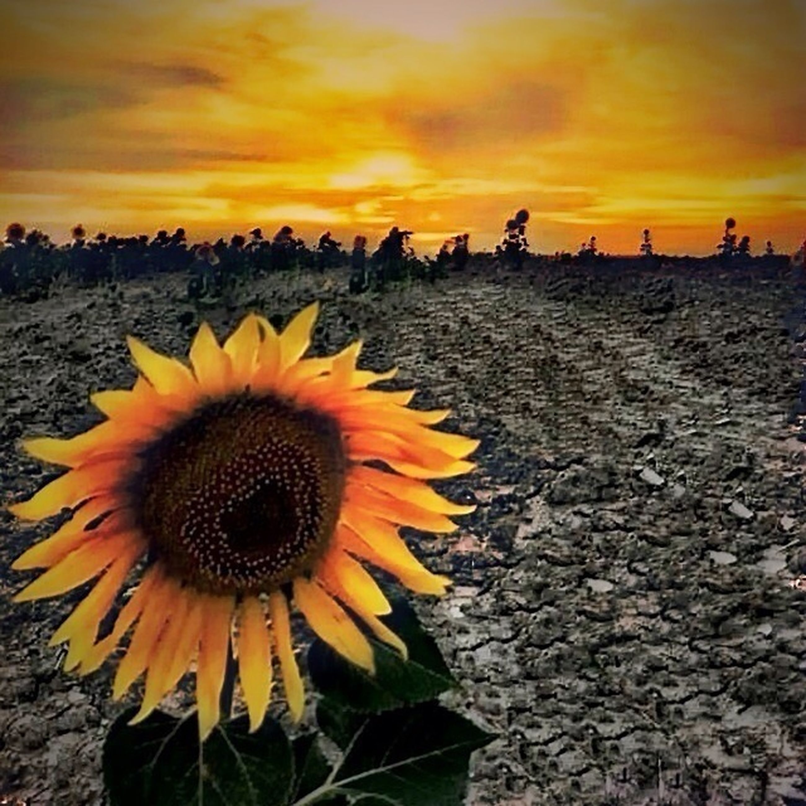 flower, yellow, sunflower, sky, fragility, beauty in nature, petal, flower head, sunset, freshness, growth, nature, cloud - sky, blooming, plant, field, orange color, pollen, tranquility, scenics