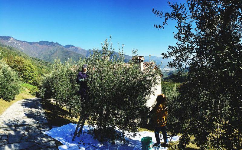 Olive Tree Walking Around