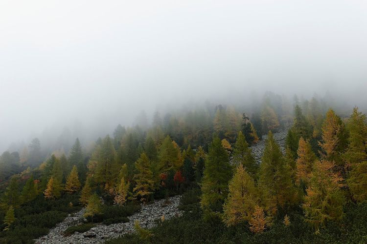Scenic view of coniferous tress on foggy day