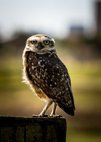 Owl | Coruja Buraqueira | Athene cunicularia Owl Photography Animal Wildlife Animal Themes One Animal Animals In The Wild Animal Focus On Foreground Vertebrate Bird Perching No People Close-up Bird Of Prey Day Nature Outdoors Looking Looking Away Full Length Owl
