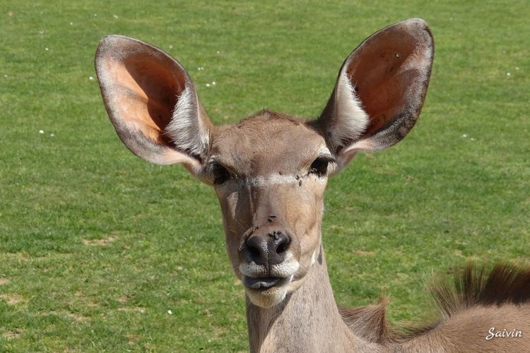 Female Kudu with Large Ears Nature Zoo Beautiful Nature Ladyphotographerofthemonth Showcase: January Animal Portrait Animal So Cute Close Up The Portraitist - 2016 EyeEm Awards Nature's Diversities Found On The Roll
