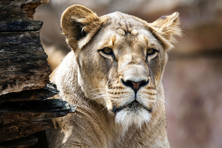 Zoo Animal Themes Animal Wildlife Animal One Animal Mammal Animals In The Wild Feline Cat Lion - Feline Portrait Animal Body Part No People Close-up Focus On Foreground Carnivora Animal Head  Big Cat Vertebrate Safari Outdoors Lioness Whisker