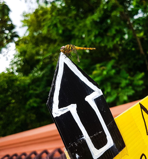 Dragonfly perched on an arrow sign Animal Patern Insect Bug Arrow Sign Dragonfly Damselfly Yellow Dragonfly Lucky Shot Nature Wings Full Length Blurred Background Trees Yellow Sign Black And White Arrow Where Where Is It? Tree Guidance Close-up Perching Directional Sign Arrow Sign EyeEmNewHere