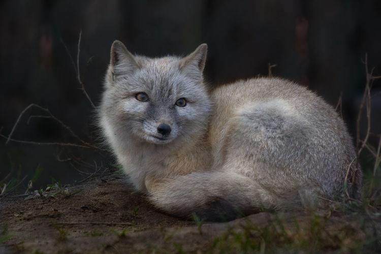 fuchs Fuchs Fox
