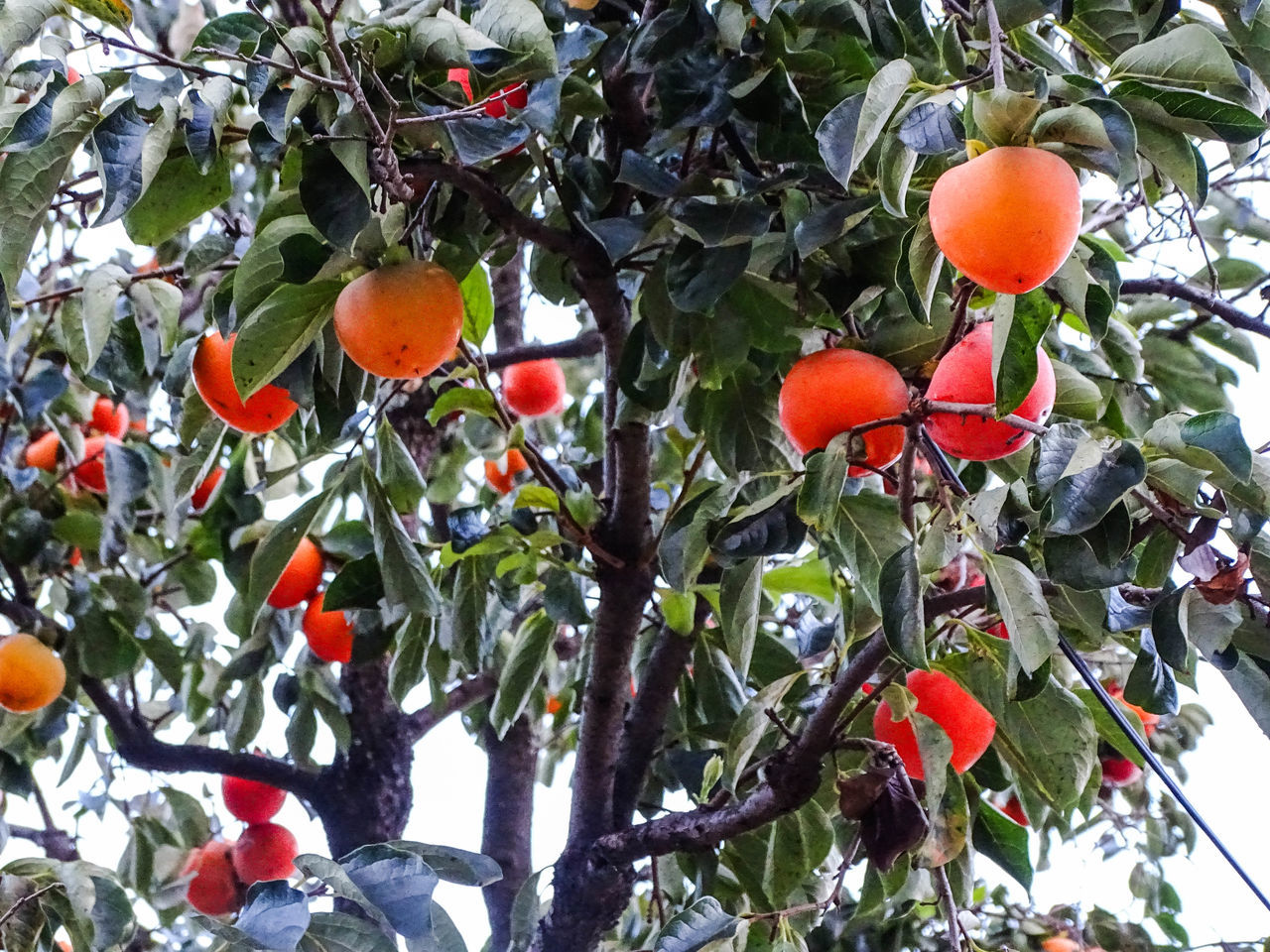 fruit, tree, food and drink, growth, food, low angle view, branch, day, freshness, outdoors, nature, leaf, no people, beauty in nature, healthy eating, green color, orange tree, close-up