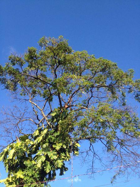 Tree of Street. Goiania, Goias State. Trees TreePorn Tree Treegasmic Tuesday Hugging A Tree Sky Skyporn Sky Collection Nature Nature_collection