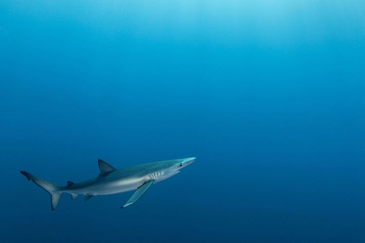 Bluesharks in the middle of the atlantic