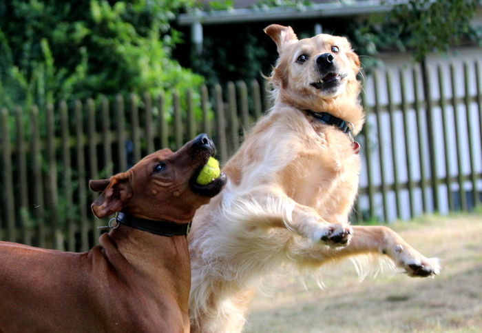 Animal Themes Ball Dog Goldenretriever Jumping Nature Outdoors Pets Playing Playing Dogs Playing With The Animals Ridgeback Spielende Hunde