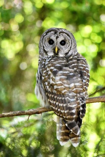 Barred Owl Owls Animal Wildlife Bird Looking At Camera Owl Perching Animal One Animal Portrait Animals In The Wild Nature Full Length Tree Feather  No People Outdoors Close-up Bird Of Prey Beauty In Nature Branch Day
