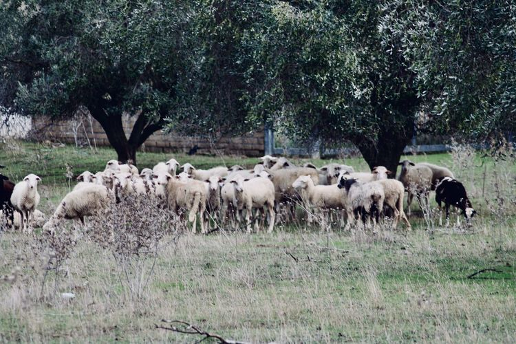 View of herd of sheep standing in agriculture field