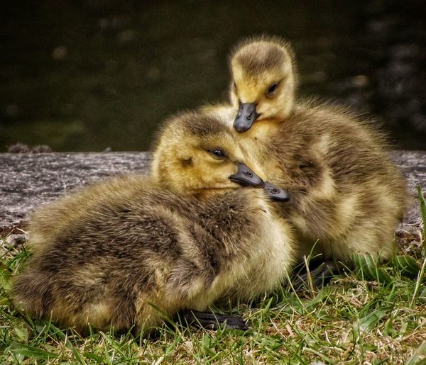 Two Gosling's relaxin at the side of the Rochdale Canal Manchester Gosling, Canada Goose, Resting, Park, Grass Gosling Birds Of EyeEm  Close-up Wildlife Malephotographerofthemonth Close Up Nature HDR Close Up Photography Fujifilm Creative Light And Shadow Color Photography Wildlife & Nature Eye For Photography Nature Photography Baby Birds Nature On Your Doorstep Nature_collection Nature And Wildlife By Tony Bayliss