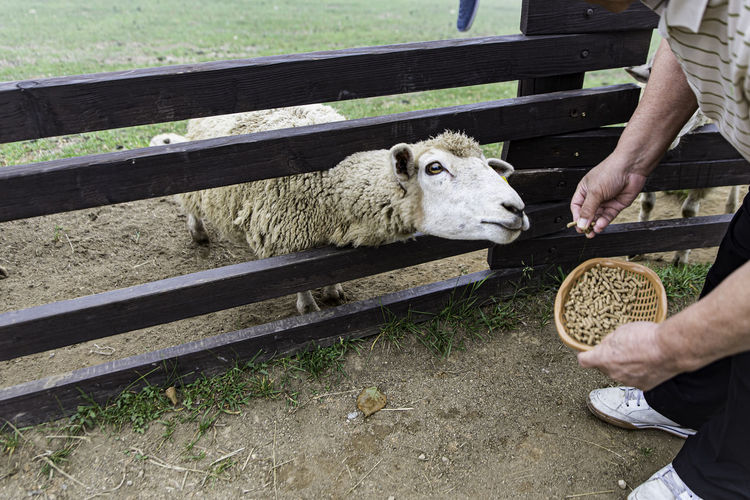 Full length of a hand holding sheep