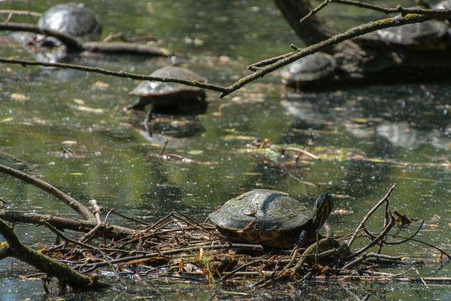 Schildkröte Turtle