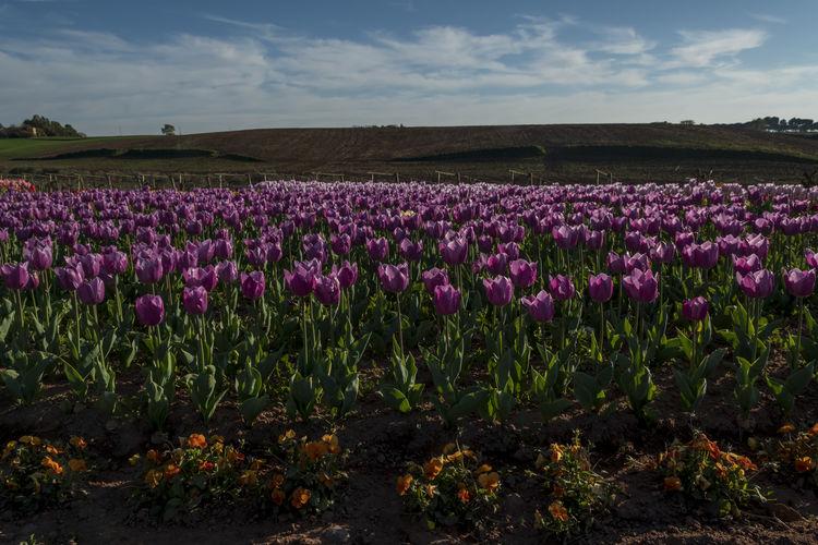 Tulipani -