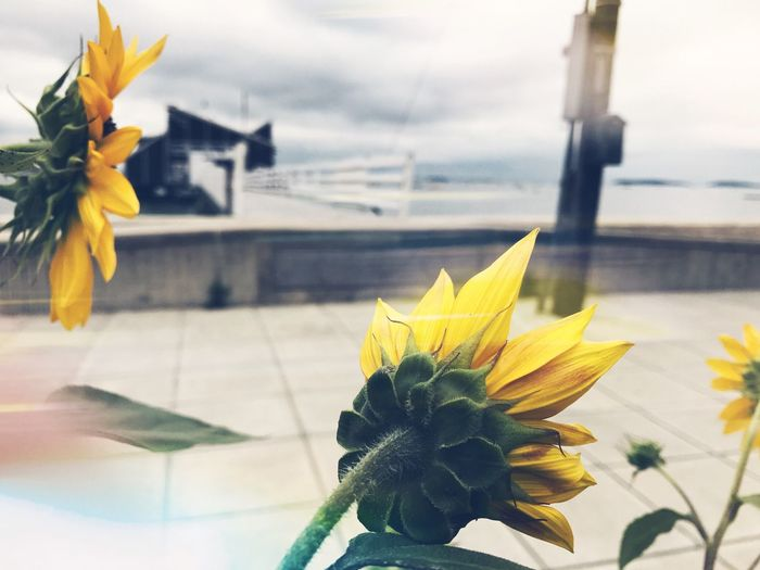 Sunflowers🌻 Windy Nature Blurred Beach