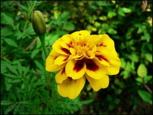 цветы желтый оранжевый бархатцы Природа