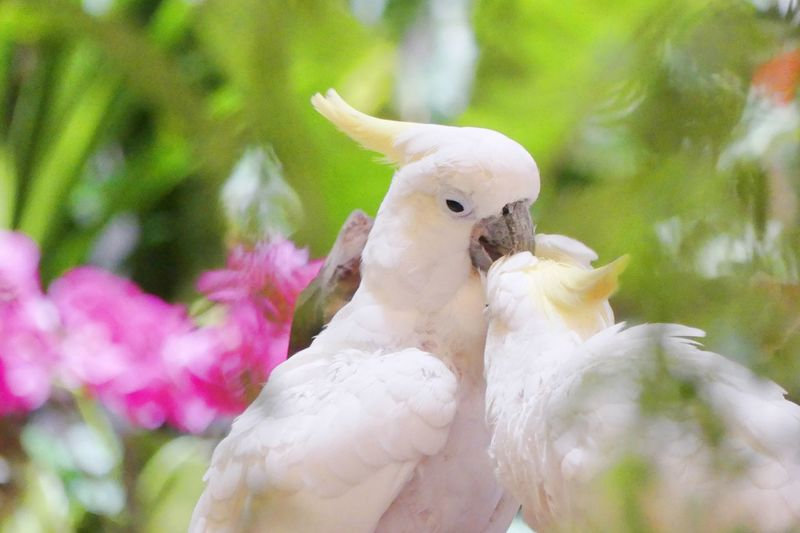 That Parrots are Cleaning Body of Another Animal Themes Animal Wildlife Animals In The Wild Beak Beauty In Nature Bird Birds Close-up Cockatoo Day Feather  Nature No People Outdoors Parrot Parrot Bird Parrot Lover Parrots Parrots On Tree Parrot❤ Swan White Color นก นกสวยงาม นกแก้ว
