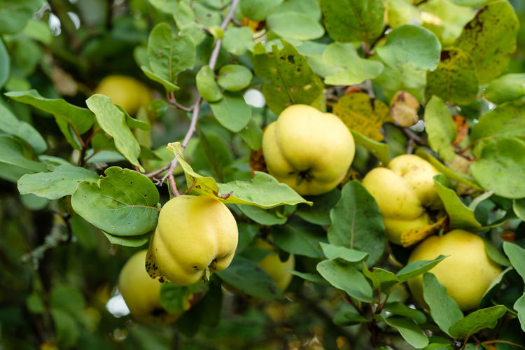 Quince fruit at