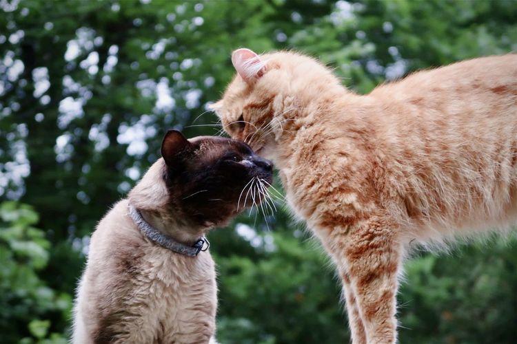 Orange tabby and siamese cat