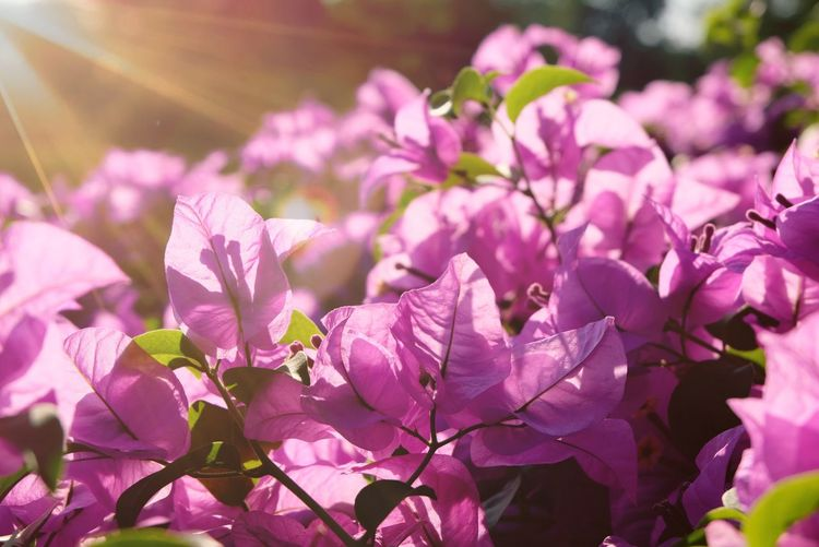 Beautiful flowers Pink Flowers Sunlight Photo Beautiful Growth Nature Sun Light Flower Head Flower Springtime Pink Color Petal Purple Blossom Tree Close-up Plant Blooming Botany Growing Plant Life In Bloom Flowering Plant