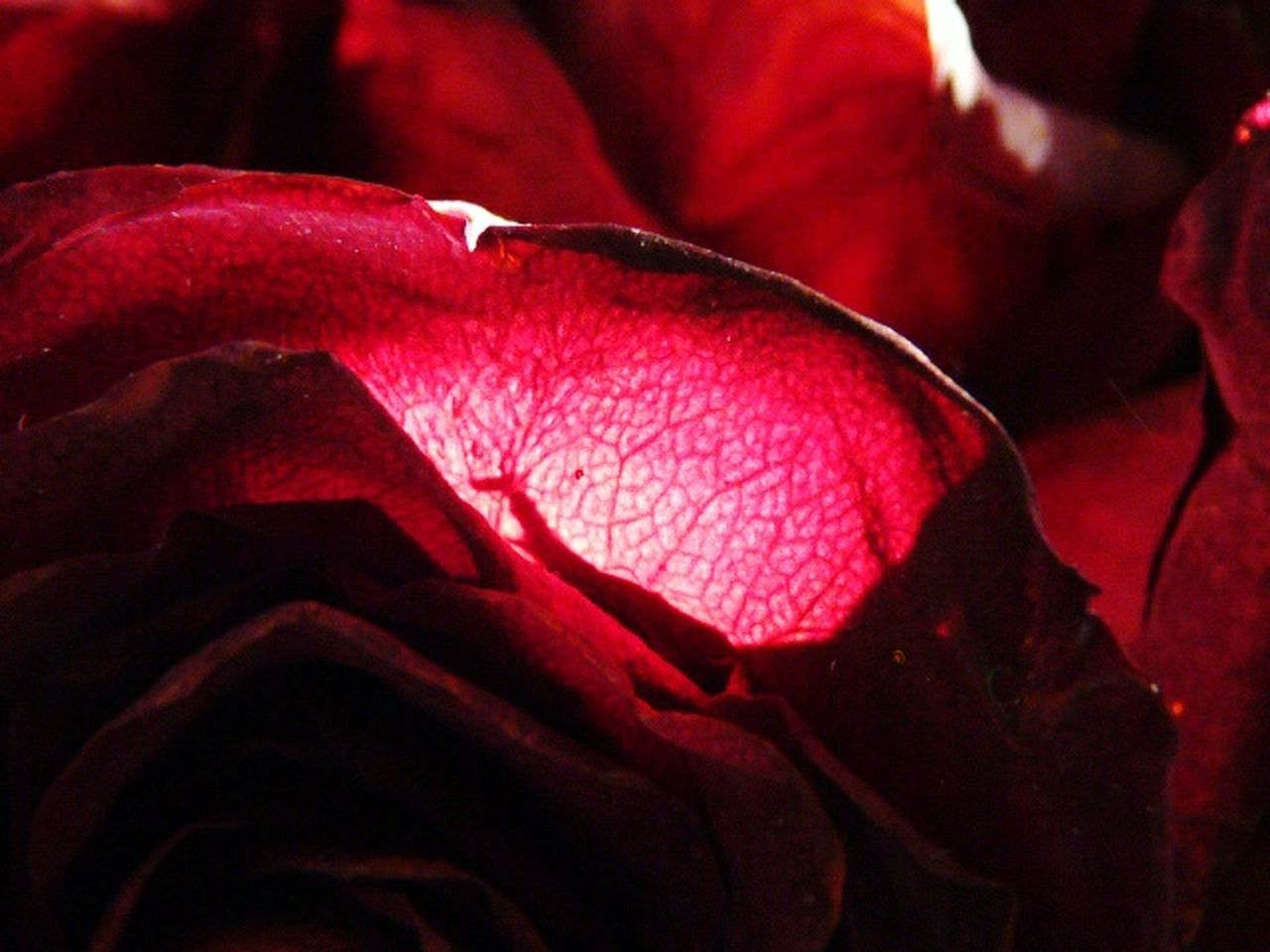 red, rose - flower, nature, flower, beauty in nature, petal, close-up, fragility, no people, night, flower head, outdoors, freshness