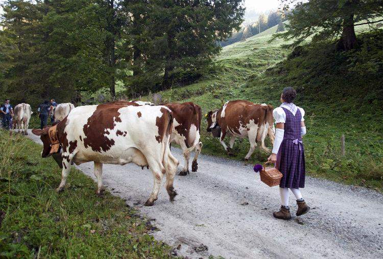 herd of Swiss