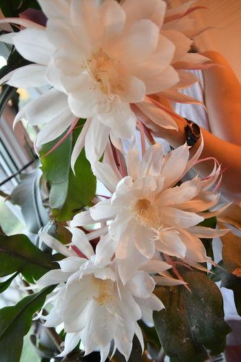 Flowers Königin Der Nacht  Blumengruss🌾 Blumenzauber Blumen *~* Blumenfotografie Blumenpracht🌺🍃 Blumen Kaktus Flower Flower Photography